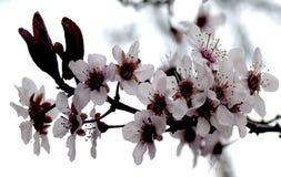 Menchia kwiaty Zdjęcie Stock