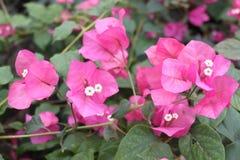 Menchia kwiaty Fotografia Royalty Free