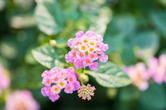 Menchia kwiaty Zdjęcia Stock
