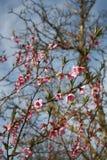 Menchia kwiaty zdjęcia royalty free