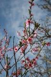 Menchia kwiaty Obraz Stock