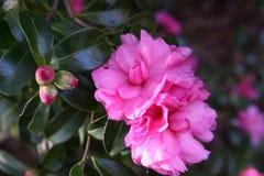 Menchia kwiaty Fotografia Stock