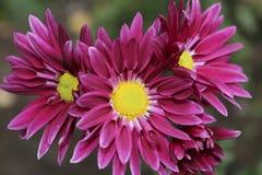 Menchia kwiaty Obraz Royalty Free