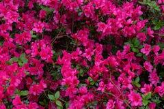 Menchia kwiaty azalii japonica, różanecznik jako natury tło obrazy royalty free