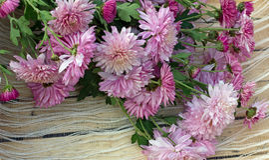 menchia kwiaty chryzantemy Obrazy Stock