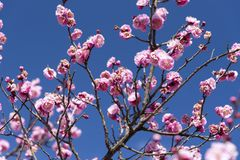 Menchia kwiaty Czereśniowy Śliwkowy drzewo, Japan kwiat, piękna pojęcie, zdjęcie royalty free