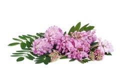 Menchia kwiaty i liście akacja odizolowywający na bielu fotografia stock