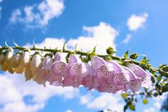Menchia kwiaty i niebieskiego nieba tło zdjęcia stock