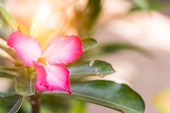 Menchia kwiaty i zieleń liście w świetle słonecznym Zdjęcie Royalty Free