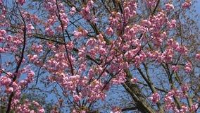 Menchia kwiaty japończyk Sakura przeciw niebieskiemu niebu zbiory