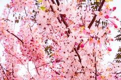 Menchia kwiaty kwitną w białym niebie, czereśniowy okwitnięcie Obraz Stock