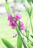 Menchia kwiaty lathyrus Fotografia Stock