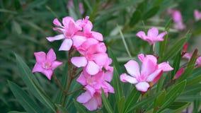 Menchia kwiaty Leafed Wzrastali zbiory