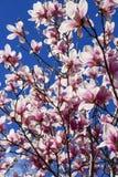 Menchia kwiaty Magnoliowy soulangeana, spodeczek magnolii drzewo przeciw niebieskiemu niebu obraz stock