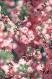 Menchia kwiaty migdały Kwiatonośny migdał obraz stock