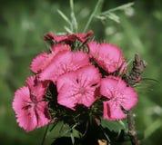 Menchia kwiaty ogrodowych goździków zamknięty up Obraz Royalty Free