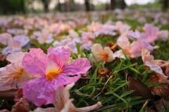 Menchia kwiaty opuszczający w ogródzie obraz stock