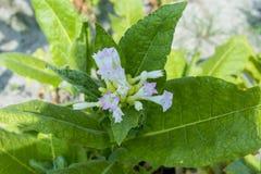Menchia kwiaty tabaczna roślina błyszczą w późnego popołudnia słońcu Zdjęcie Stock