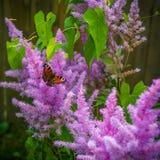 Menchia kwiaty wyszczególniający z motylem w ogródzie Fotografia Royalty Free