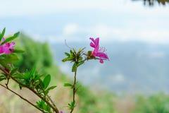 Menchia kwitnie bueatiful przy MonJam, ChiangMai Tajlandia obraz stock