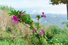 Menchia kwitnie bueatiful przy MonJam, ChiangMai Tajlandia zdjęcia royalty free