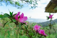 Menchia kwitnie bueatiful przy MonJam, ChiangMai Tajlandia zdjęcie royalty free