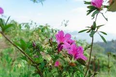 Menchia kwitnie bueatiful przy MonJam, ChiangMai Tajlandia fotografia stock