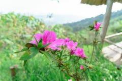 Menchia kwitnie bueatiful przy MonJam, ChiangMai Tajlandia zdjęcia stock