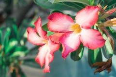 Menchia kwitnie, frangipani kwiaty i zieleń liście zdjęcie royalty free