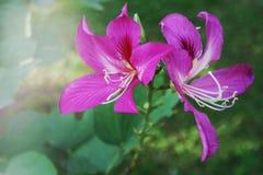 Menchia kwitnie kwitnącego miękkiego światło w ogródzie fotografia royalty free
