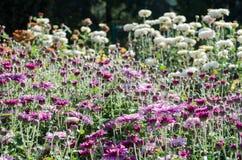 Menchia kwitnie kwitnienie na kwiecistym tle Jesieni chryzantema fotografia royalty free