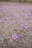 Menchia kwitnie kwitnienie od ziemi obraz stock