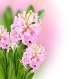 Menchia kwitnie na barwionym tle Obraz Royalty Free