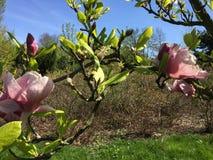 Menchia kwitnie na gałąź Magnoliowy drzewny Magnoliaceae, Magnoliowy Soulangeana Rustica Rubra fotografia royalty free
