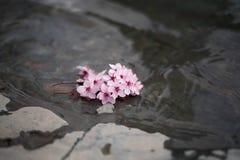 Menchia kwitnie na wodzie Fotografia Royalty Free