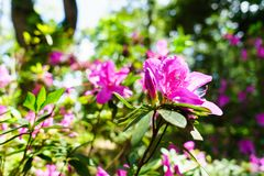 Menchia kwitnie przy pięknym na Doi Suthep Thailand fotografia stock