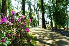 Menchia kwitnie przy pięknym na Doi Suthep Thailand zdjęcia stock