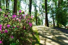 Menchia kwitnie przy pięknym na Doi Suthep Thailand obrazy royalty free