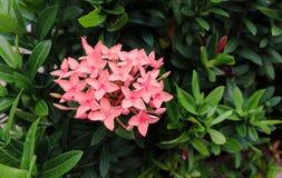 Menchia kwitnie w lecie pośród greenery obrazy stock