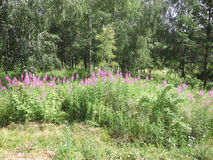 Menchia kwitnie w lesie Fotografia Stock