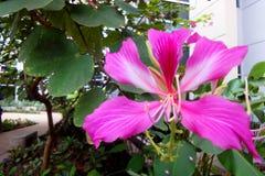 Menchia kwitnie w ogródzie, kwiaty byliny, kwiatonośne rośliny Obrazy Royalty Free