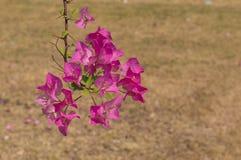 Menchia kwitnie w słonecznym dniu i piaskowatym tle Obraz Royalty Free