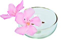 Menchia kwitnie w szkle Zdjęcie Royalty Free