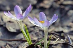 Menchia kwitnie w wiośnie Zdjęcie Stock