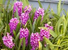 Menchia kwitnie wiosny tutaj Zdjęcie Stock