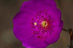 Menchia kwitnie z długim piętnem i anthers Zdjęcie Stock