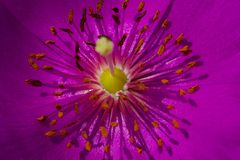 Menchia kwitnie z długim piętnem i anthers Fotografia Royalty Free
