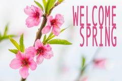 Menchia kwitnie z mile widziany wiosna tekstem Fotografia Royalty Free