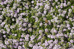 Menchia kwitnie z motylem Obrazy Stock