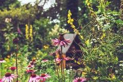 Menchia Kwitnie z motylem w ogródzie obraz royalty free